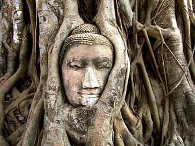 tete de bouddha dans l arbre