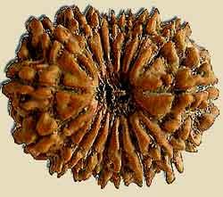 Vertus des graines Rudrakshas 17Mukhi